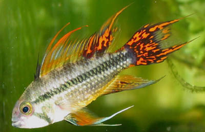 Apistogramma cacatuoides double red cockatoo cichlid male