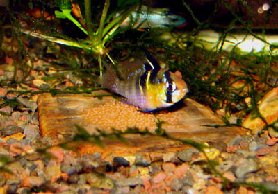 Mikrogeophagus ramirezi blue ram female laying eggs