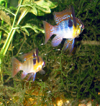 Blue Ram pair with fry