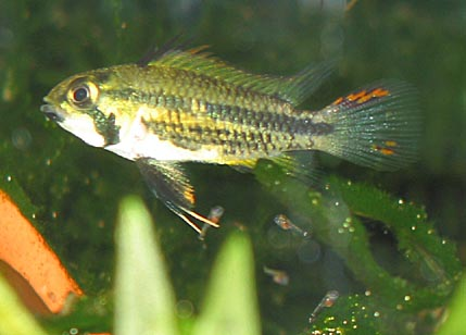 Apistogramma cacatuoides female with fry